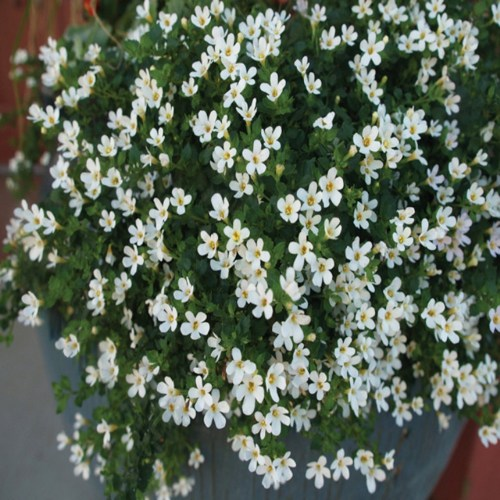 Image of 1.5g Bacopa