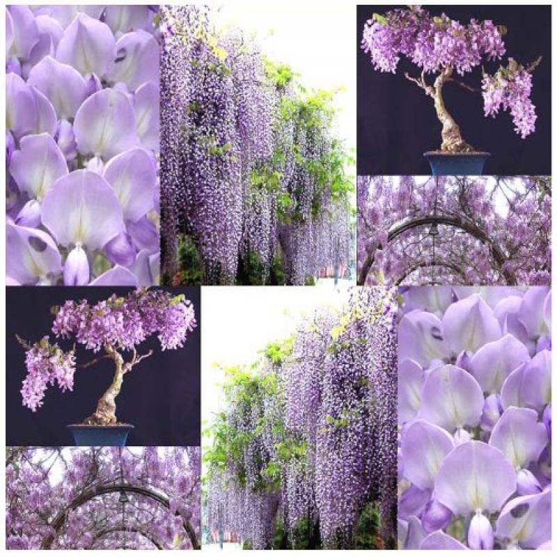 10 Chinese Blue Bonsai Tree Seed Purple Wisteria Sinensis Seeds Fragrant Flowers by