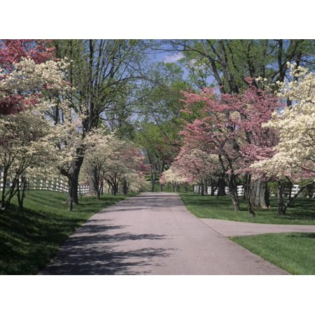 Pink And White Dogwood Trees In Bloom Along A Fenced Road Lexington Kentucky Usa Print Wall Art By Adam Jones