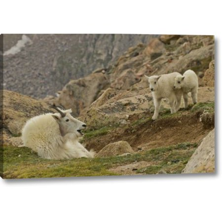 Millwood Pines 'CO, Mt Evans Mountain Goat Kids and Nanny' Photographic Print on Wrapped Canvas
