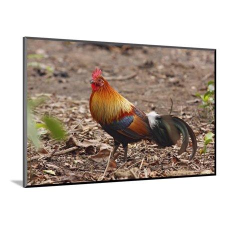 Red Jungle Fowl Male Wood Mounted Print Wall Art