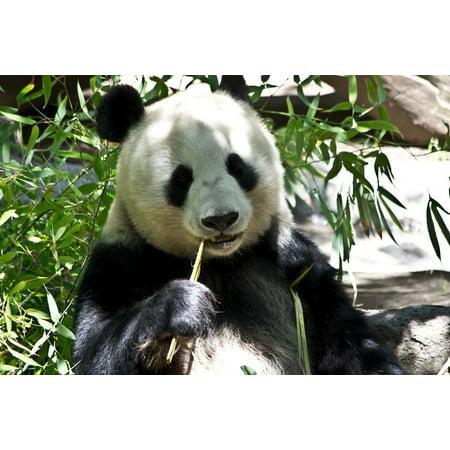 Framed Art for Your Wall Wild Bear Zoo Zoology Wildlife Panda Animal 10x13 (Cheap Prada Frames)