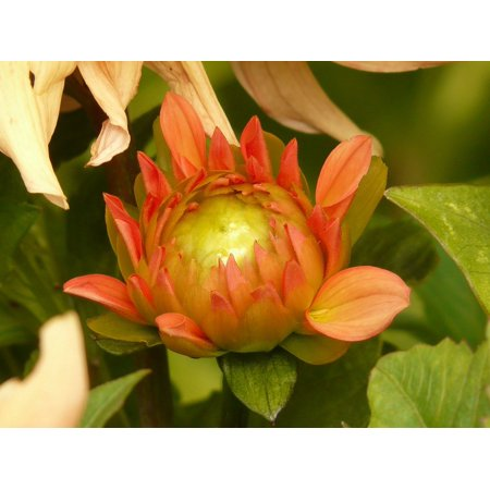 Dahlia Flora Flower Growth Grow Plant Bud-20 Inch By 30 Inch Laminated Poster With Bright Colors And Vivid Imagery-Fits Perfectly In Many Attractive Frames