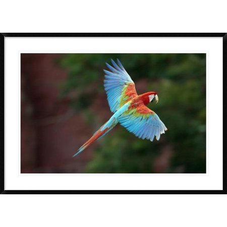 Global Gallery Red And Green Macaw Flying Framed Photographic Print