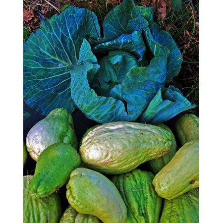Squash Vine (Framed Art For Your Wall Head Squash Vine Shu-shu Vegetable Cabbage 10x13)