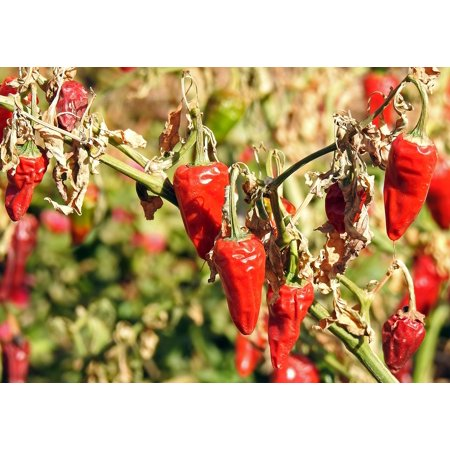Canvas Print Season Spice Chilli Chili Red Sharpness Sharp Stretched Canvas 10 x 14
