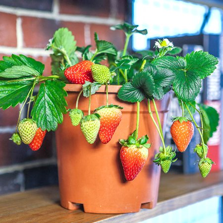 Sonew 300Pcs/Pack Super Large Strawberry Seeds Home Garden Red Color Sweet Delicious Fruit Plant, Strawberry Seeds, Delicious Strawberry Seeds - image 5 of 7