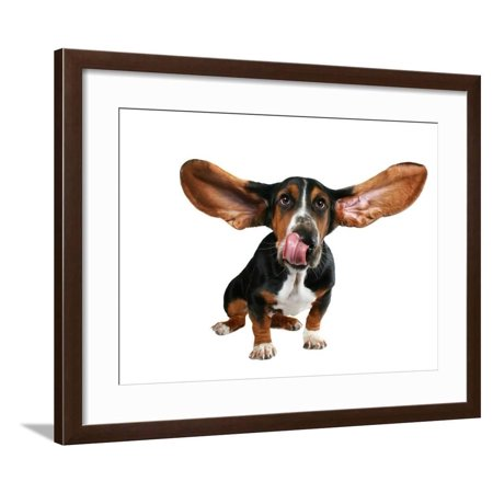 A Basset Hound With Long Flying Ears Framed Print Wall Art By (Swimmers Ear And Flying In An Airplane)