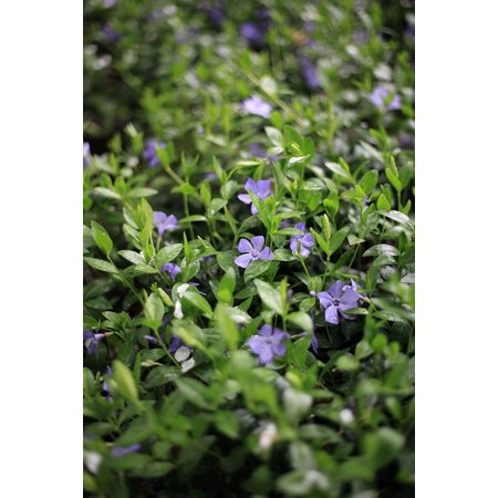LAMINATED POSTER 5 Petals Green Background Purple Herb Periwinkle Poster Print 24 x 36