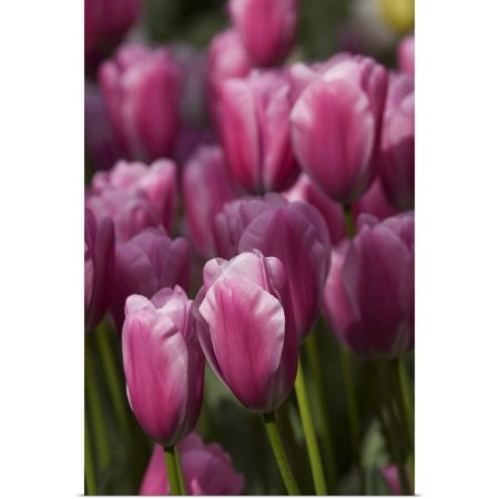 Great BIG Canvas | Rolled Cindy Miller Hopkins Poster Print entitled Tulips at the Kuekenhof Gardens, Lisse, (The Netherlands Tulips)