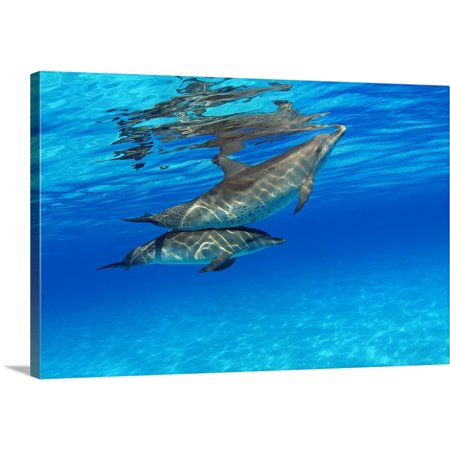 Spotted Dolphin - Great BIG Canvas   Dave Fleetham Premium Thick-Wrap Canvas entitled Caribbean, Bahamas, Bahama Bank, Two Atlantic Spotted Dolphin