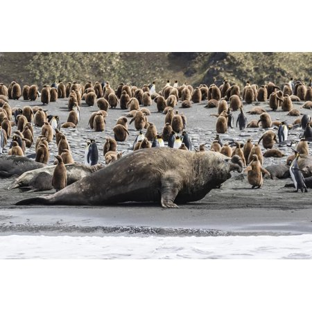 Southern Elephant Seal Bulls (Mirounga Leonina) Charging on the Beach in Gold Harbor, South Georgia Print Wall Art By Michael