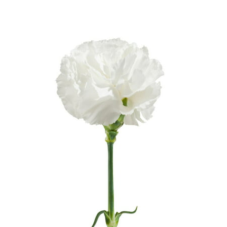 Natural Fresh Flowers White Carnations 100 Stems Walmart