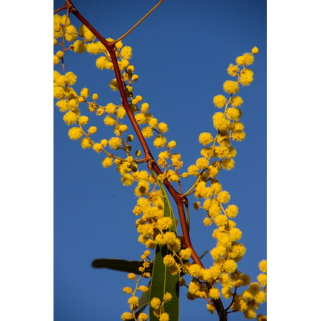 Laminated poster australian native yellow flowers acacia wattle laminated poster australian native yellow flowers acacia wattle poster 24x16 adhesive decal mightylinksfo