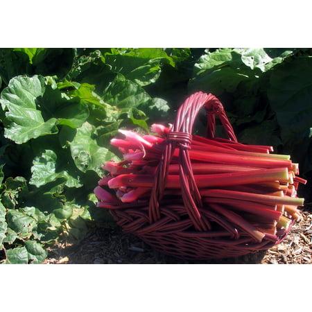 Crimson Red Rhubarb Plant - Perennial - Easy to grow - 3.25