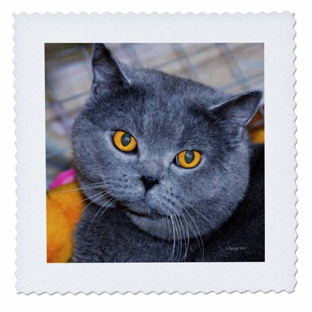 3dRose British Short Hair cat - Quilt Square, 10 by