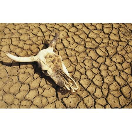 Cow Skull On Cracked Dry Mudflat - Cracked Skull