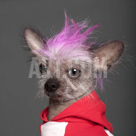 Dog Mohawk (Close-Up Of Chinese Crested Dog With Pink Mohawk, 4 Years Old, In Front Of Grey Background Print Wall Art By Life on)