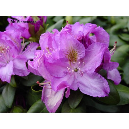 - Minnetonka Rhododendron - Very Hardy - Spectacular - 4