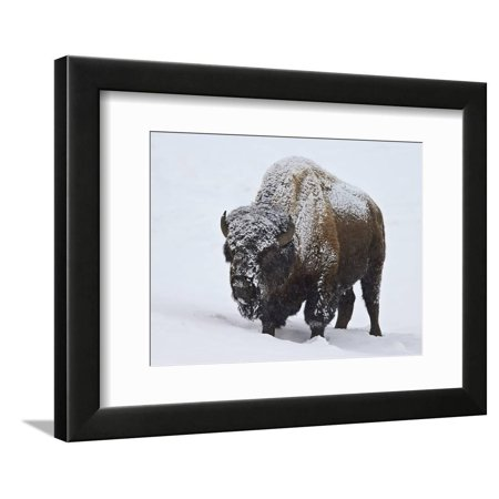 Bison (Bison Bison) Bull Covered with Snow in the Winter Framed Print Wall Art By James Hager Chicago Bulls Framed Wall