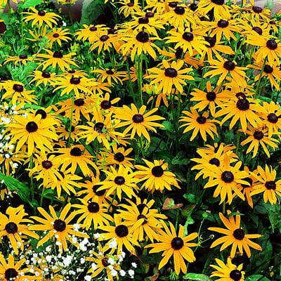 Ferry Morse Flower Seed