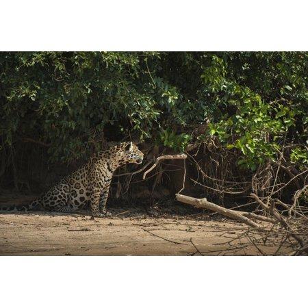 Jaguar (Panthera Onca) Male. Northern Pantanal, Mato Grosso, Brazil Print Wall Art By Pete Oxford