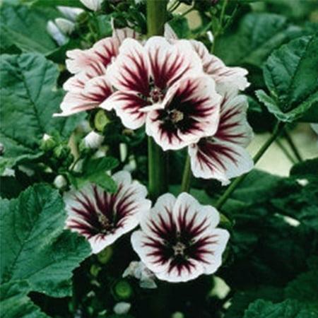 Malva Flower Garden Seeds Zebrina 500 Seeds Perennial Flower