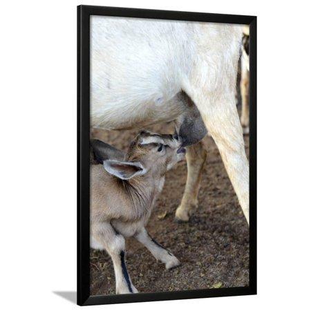 Kenya, Laikipia, Il Ngwesi, Goat Feeding Her Baby Framed Print Wall Art By Thibault Van Stratum