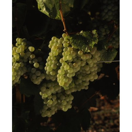 Carneros Chardonnay - Chardonnay grapes in vineyard Carneros Region California USA Canvas Art - Panoramic Images (22 x 27)
