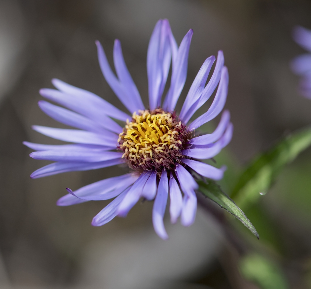 Siberian Aster along the Marsh Fork of the Canning River in the Arctic National Wildlife Refuge Summer Alaska PosterPrint