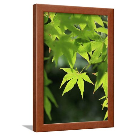 Les Paul Maple Neck - Bright Green Japanese Maple Trees in their Spring Foliage at the Ryouan-Ji Temple, Kyoto, Japan Framed Print Wall Art By Paul Dymond