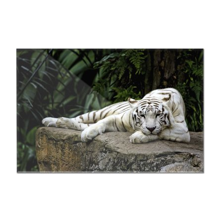 White Tiger Laying Down - Lantern Press Photography (12x8 Acrylic Wall Art Gallery Quality)