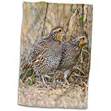 3D Rose Northern Bobwhite Quail Bird Emerging from Cover Us44 Ldi0714 Larry Ditto Towel 15 x 22