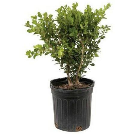 Japanese Boxwood | Evergreen Shrub - Live Landscaping (Best Evergreen Shrubs For Dry Shade)