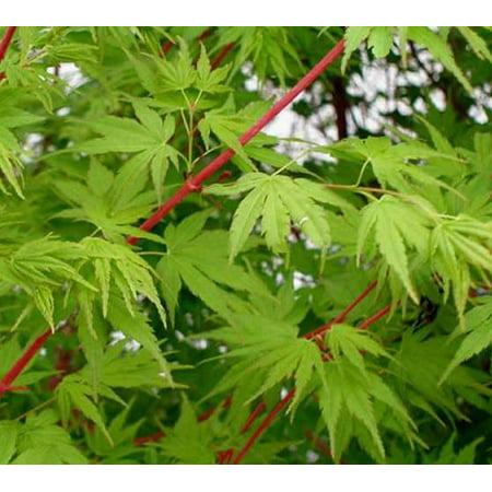 Sango Kaku Coral Bark Japanese Maple Tree - 2-3 Year Graft - ( TG )