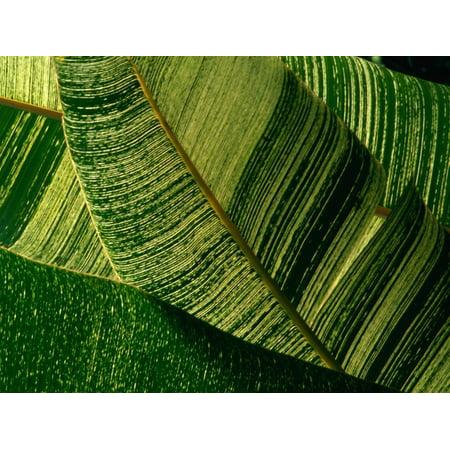Banana Palm Frond Detail, USA Print Wall Art By Nicholas Pavloff