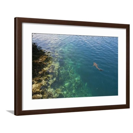 Lagoon Water (Black Tipped Sharks in the Crystal Clear Waters of the Marovo Lagoon, Solomon Islands, Pacific Framed Print Wall Art By Michael Runkel )