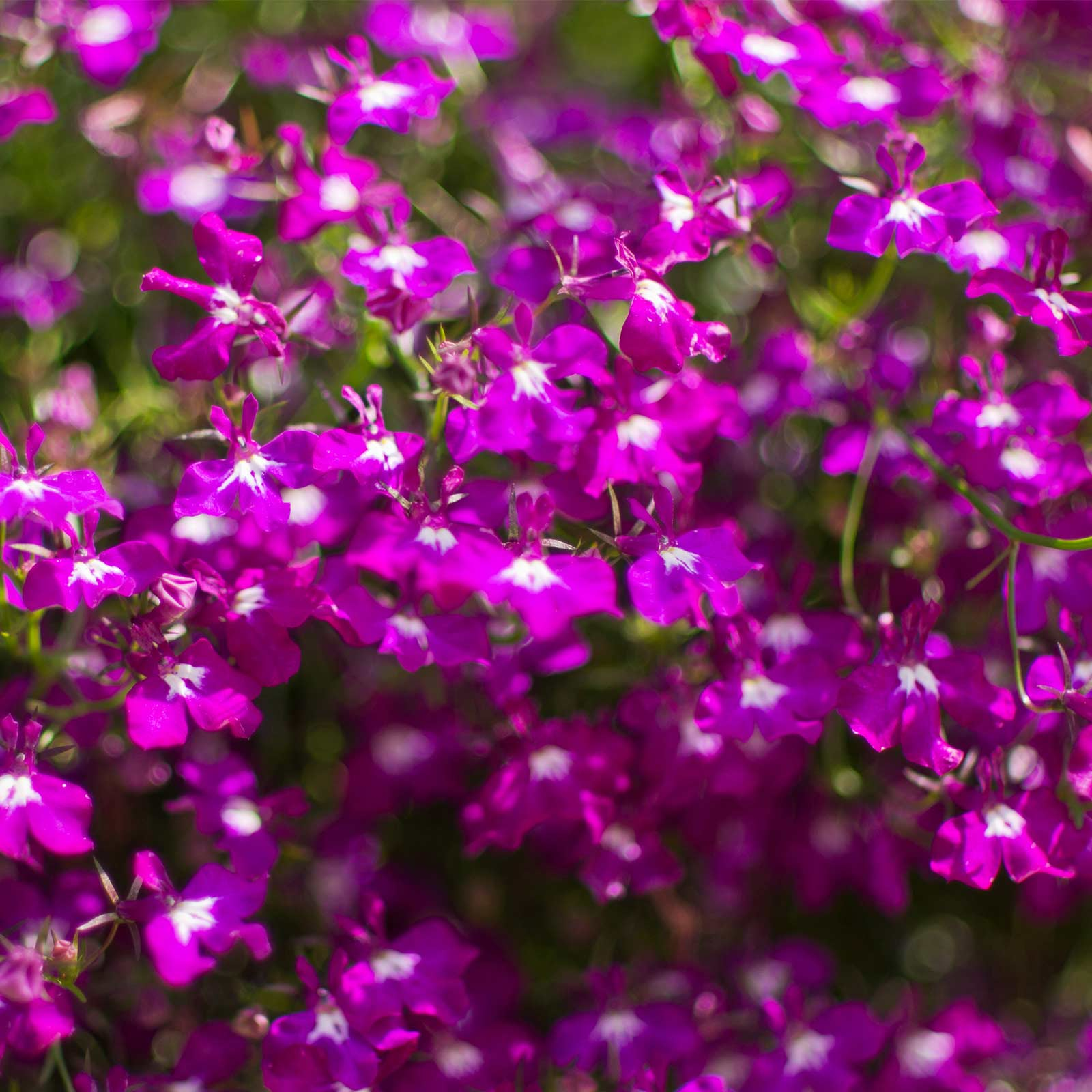 Lobelia Flower Garden Seeds - Regatta Series, Lilac - 1000 Seeds - Trailing, Annual Flower Gardening Seed - Lobelia erinus