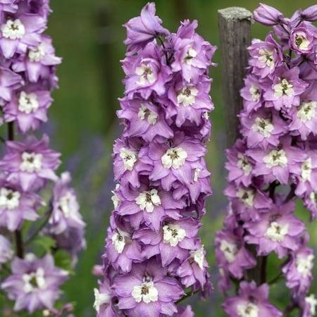 Delphinium Magic Fountain Series Flower Seeds Lilac Pink 1000