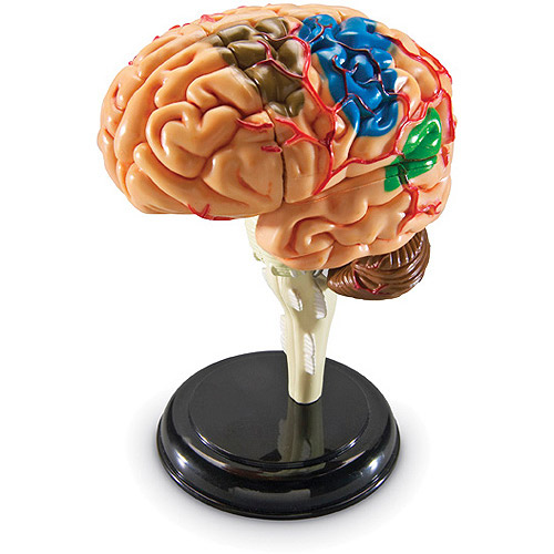 Anatomy Model, Brain