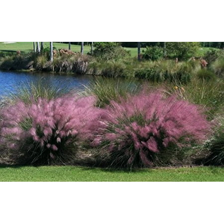 Garden Plants Grasses - Pink Muhly Grass Plant in a 4 Inch Container
