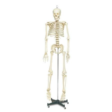 Life Sized Skeleton