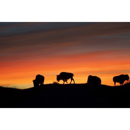 LAMINATED POSTER Buffalo Silhouettes American Bison Sunrise Animal Poster Print 24 x 36](Animal Posters)