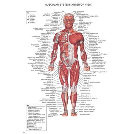 Muscular System Medical Educational Poster 24X36 Scientific Body Detailed (Muscular System Poster)