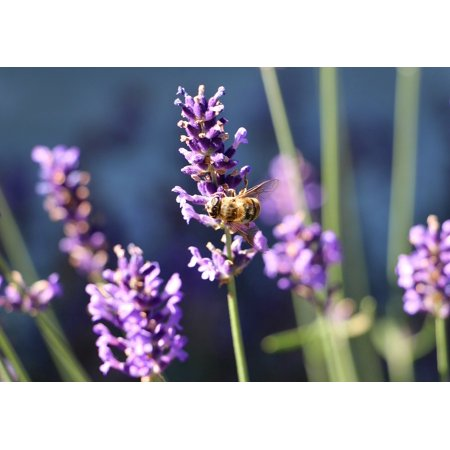 Canvas Print Lavender Nectar Bee Blooming Lavender Stretched Canvas 10 x 14