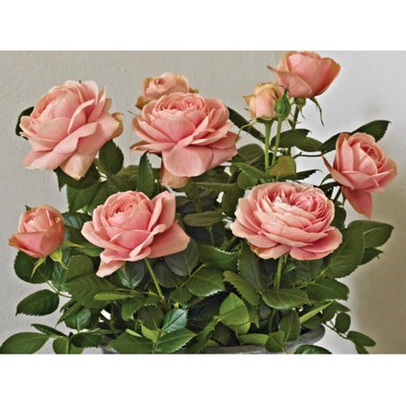 Rose Miniature Patiohit®