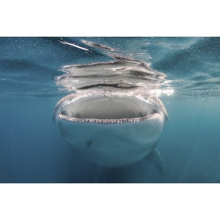 Sea Whales - Whale shark feeding on plankton Sea of Cortez Mexico Poster Print by Brook PetersonStocktrek Images
