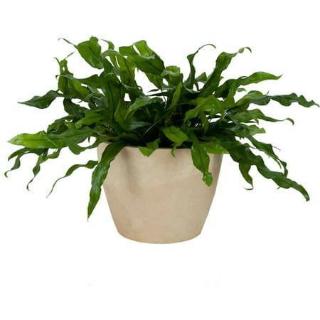 Exotic angel plants 6 kangaroo fern in for How to take care of exotic angel plants
