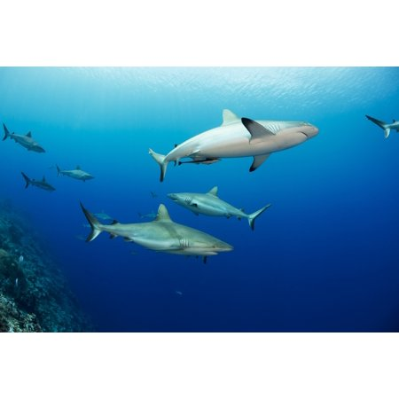 Gray reef sharks (Carcharhinus amblyrhynchos) fill the water column at a dive site named Vertigo off the island of Yap Yap Micronesia Stretched Canvas - Dave Fleetham  Design Pics (19 x 12)