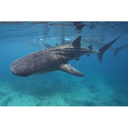 Whale sharks swimming in the Bohol Sea Philippines Poster Print by VWPicsStocktrek
